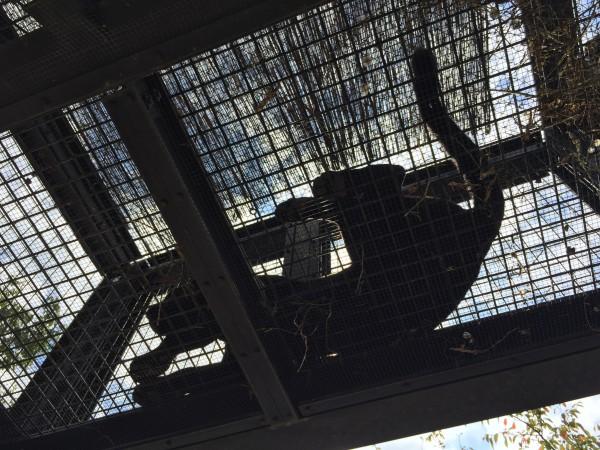 ジャガー(Panther onca)のミワ。神戸市立王子動物園からやって来ました!