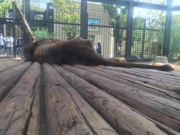 ライオン(Panther leo)のナイル。クリスと共に暑さでぐったり…